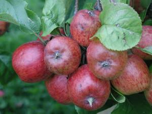 apples-publicdomain
